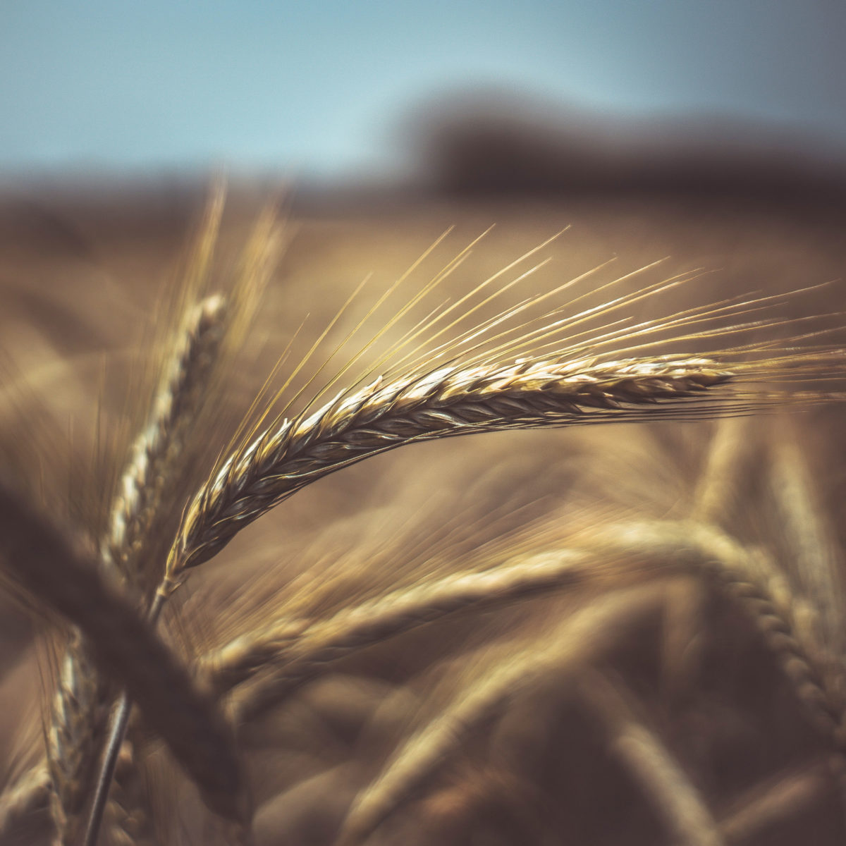 blé vaud plus